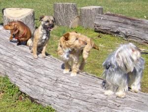 Fortidens ulve er blevet en meget varieret gruppe af hunde. Foto: Edouard Cadieu