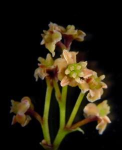 Studiet af generne i planten Amborella fortæller om de blomstrende planters udvikling. Foto: Sangtae Kim.
