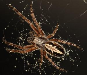Edderkopper er ikke bare rå rovdyr, for de har også en sød tand for pollen. Foto: Dirk Sanders.
