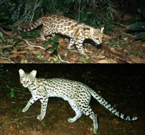 Tigrina-katten fra Brasilien viser sig nu at bestå af en nordøstlig og sydvestlig art. Foto: Projeto Gatos