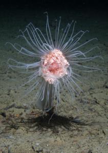 Der bliver færre og mindre dyr på oceanernes bund i takt med at klimaet bliver varmere. Foto: National Oceanography Centre.