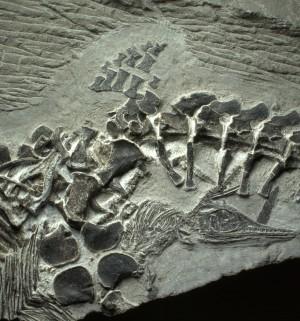 En ny forstening viser, at hvaløglen Ichthyosaur fødte sine unger på land. Foto: Ryosuke Motani