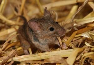Hørelsen i voksne bliver bedre, hvis de lever i mørke. Det gælder for mus, og antageligt også for mennesker. Foto: MPI for Evolutionary Biology