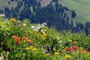 Blomster i bjergene blomstrer i længere tid hver år i takt med, at klimaet bliver varmere. Foto: David Inouye