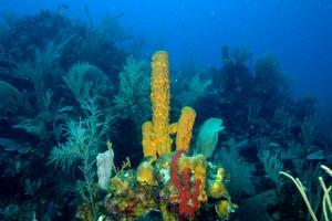 De primitive dyr havsvampe ser ud til at have spredt ilt i oceanerne for milliarder af år siden. Det gav plads for mere avancerede dyr som dig og mig. Foto: Chip Clark Smithsonian