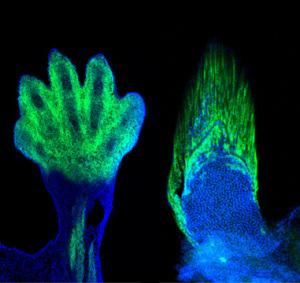 Fingrene i firbenede dyr og strålerne i fisks finner stammer fra de samme celler i fostret. Det viser at evolutionen har formmet håndknoglerne af finnestråler. Foto: Shubin laboratory
