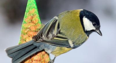 Fuglefodring ændrer næbet på musvitterne over generationer. Foto: Dennis van de Water.