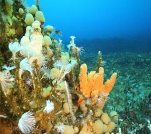 Biodiversiteten ved Antarktis' bugt O'Brien Bay. Her er et mangfoldigt samfund af marine hvirvelløse dyr som afrundede havskruer (ascidianer), fjerformede polychaete orme orange svamp. Foto: Jonny Stark / Australian Antarctic Division