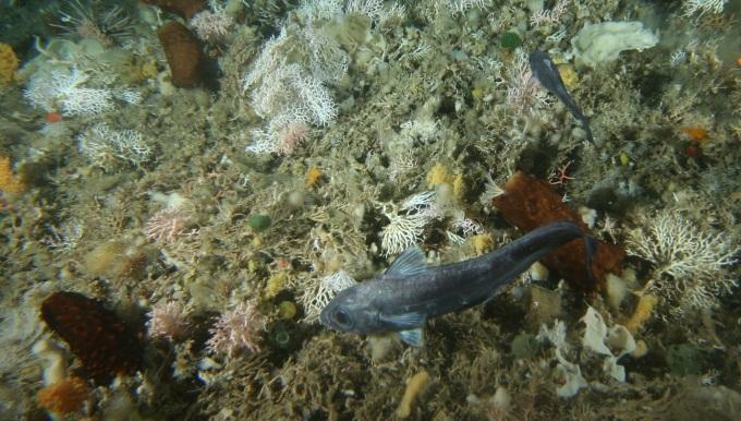 Fisk og hvirvelløse dyr trives på bunden, hvor phytoplankt falder ned til dem. Foto: Australian Antarctic Division