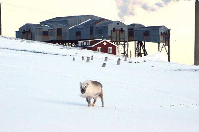 Et af Svalbards rensdyr er spadseret lige ind i Longyearbyen og går her lige foran en konstruktion fra Svalbards fortidige kulindustri.