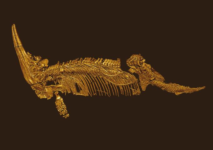 Vi fik dette billede af Jørn. Hovedet er til venstre, og der er et lang tnæb med små tænder, som peger lige opad. Det er et 3D skan af en Cryopterygius kristiansenae, og den eneste komplette fiskeøglen fundet i Arktis. Den er skannet af Precitech.