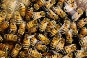 Svampemidler er blandt de mest udbredte forureninger af honningbi-stader, og stofferne kan forstyrre biernes evne til at nedbryde andre midler fra landbruget. Foto: L. Brian Stauffer