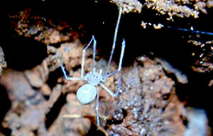 Edderkoppearten Ochyrocera atlachnacha e navngivet efter fantacy edderkoppeguden Atlach-Nacha. Foto: Igor Cizauskas.