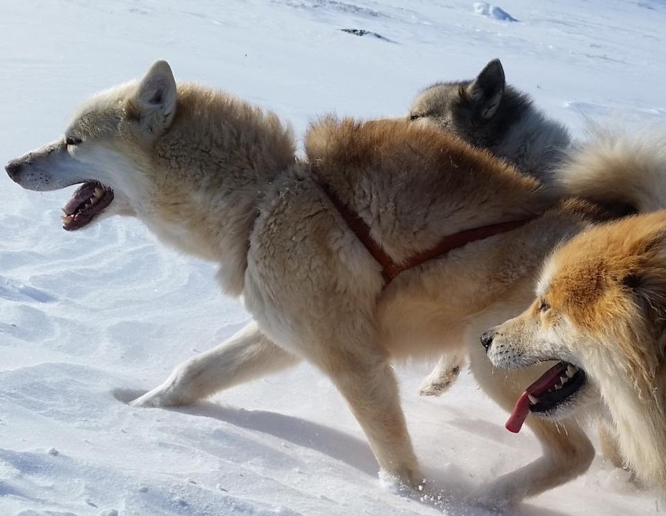 Grønlandsk slædehund er en 2000 år gammel race