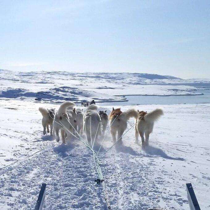 Grønlandske slædehunde har eksisteret i 2.000 år